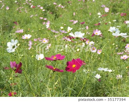 大波斯菊 花朵 花卉 35177394