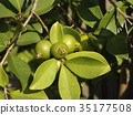 A tropical fruit hime gaba fruit that started to be colored 35177508