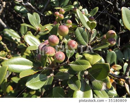 열매, 과실, 적자색 35180809
