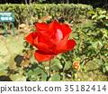 กุหลาบ,ดอกไม้,ฤดูใบไม้ร่วง 35182414