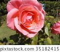 กุหลาบ,ดอกไม้,ฤดูใบไม้ร่วง 35182415