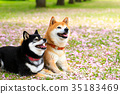 柴犬 叢林犬 花瓣 35183469