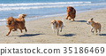 running dogs on the beach 35186469