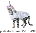 bengal cat dressed 35186490