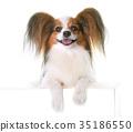young papillon dog 35186550