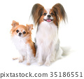 young papillon dog and chihuahua 35186551