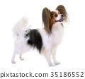 young papillon dog 35186552