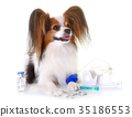 young papillon dog sick 35186553