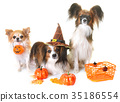 young papillon dogs, chihuahua and halloween 35186554