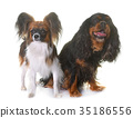 cavalier king charles and papillon dogs 35186556