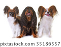 cavalier king charles and papillon dogs 35186557