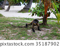 The Little Leaf-monkey on the beach 35187902