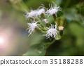 White little flower of grass in the garden. 35188288