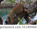 Iguana 35189466