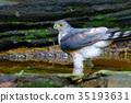 Accipiter badius or Shikra. 35193631
