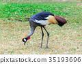 Grey crowned crane. 35193696
