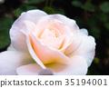 bloom, blossom, blossoms 35194001