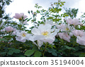 color, clematis, white space 35194004