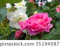rose, bright, sunshiny 35194087