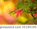 maple, yellow, leafe 35194195