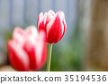 tulipa, bloom, blossom 35194536
