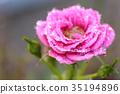 玫瑰 玫瑰花 花朵 35194896