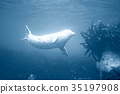 seal underwater photo in wild nature 35197908