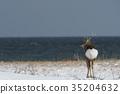 Ezo deer on the coast 35204632