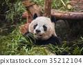 Giant panda eating bamboo 35212104