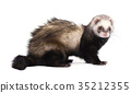 Ferret in full growth lies, isolated on white 35212355