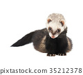 Grey ferret in full growth, isolated on white 35212378