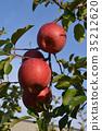 과일, 결실, 사과 35212620