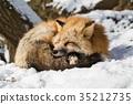 動物 野生生物 狐狸 35212735