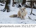 動物 野生生物 狐狸 35212737