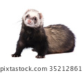 鼬 动物 抠图 35212861