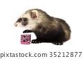 Grey ferret isolated on white background 35212877