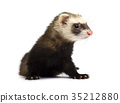 Grey ferret isolated on white background 35212880