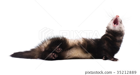 Cute grey ferret in full growth lies isolated 35212889