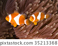 Clown Anemonefish (Amphiprion ocellaris) 35213368
