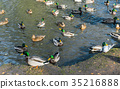 A lot of drakes and ducks swim together in a pond. 35216888