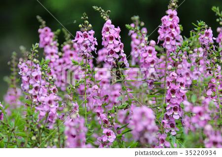 美麗的紫色天使花,玄參科天使花屬下的一個種Angelonia salicariifolia 35220934