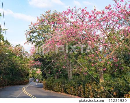 美人樹開花的鄉間道路 35223920