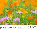 꽃, 노랑, 코스모스 35224424