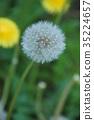 민들레, 꽃, 플라워 35224657