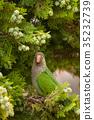 MS Monk Parakeet parrot (Myiopsitta monachus)  35232739