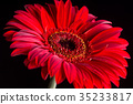 Closeup macro of red gerbera over black background 35233817