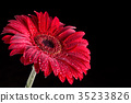 Red gerbera with droplets with black background 35233826