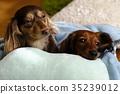 Dachshund dog 35239012