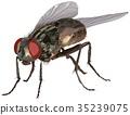 Housefly 35239075