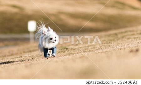 ชีวาวา,สุนัข,สุนัช 35240693